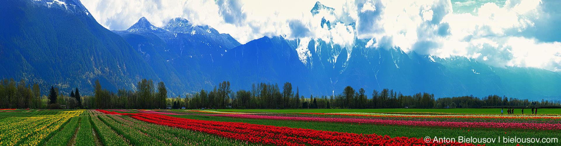 Панорама тюльпановых полей и горы Mt. Cheam в Агассизе (Agassiz, BC)