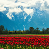 Mt.Cheam during Tulip festival in Agassiz, BC
