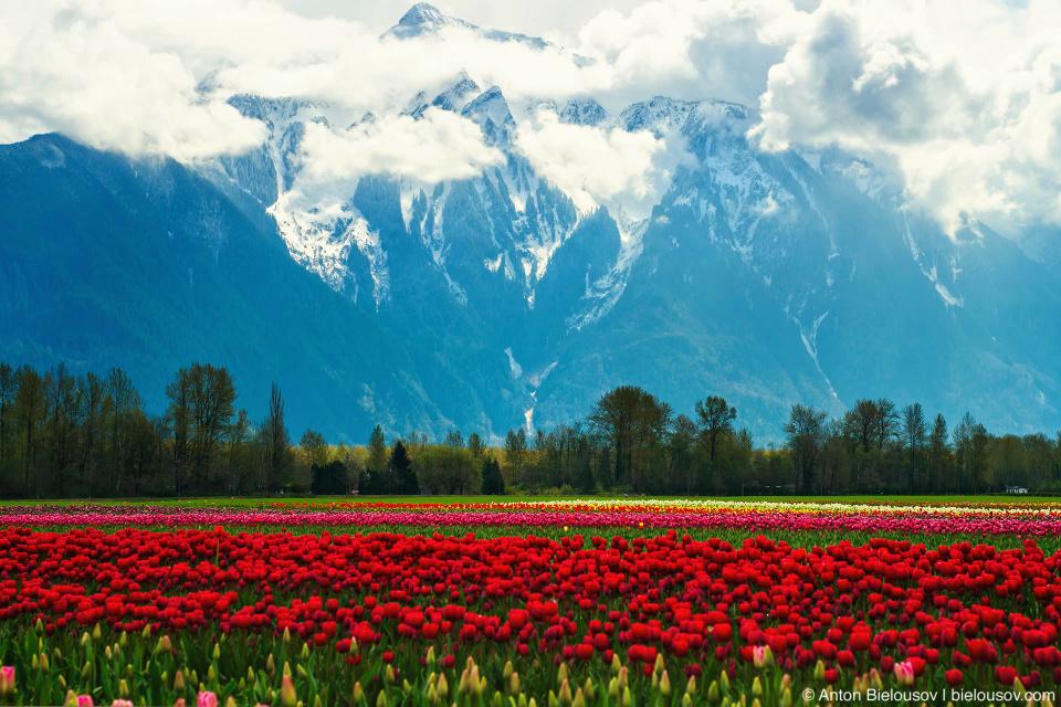 Mt.Cheam during Tulip festival in Agassiz, BC