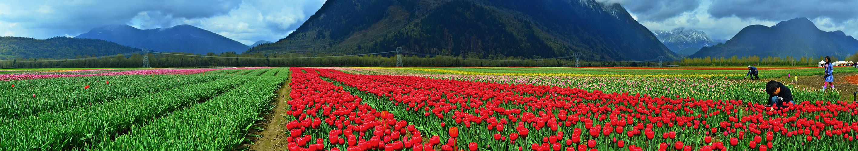 Панорама тюльпановых полей в Агассизе (Agassiz, BC)
