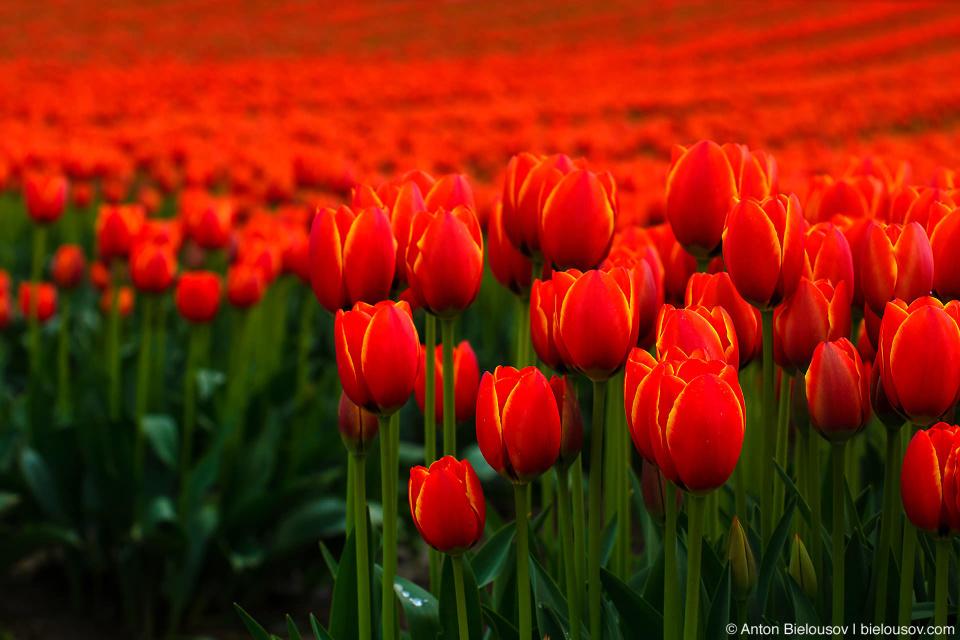 Tulip festival in Agassiz, BC