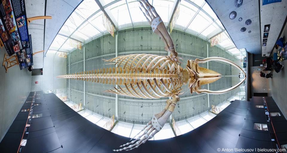 Скелет большого синего кита — самый большой скелет млекопитающего в мире в музее Biodivercity Natural Museum в Ванкувере