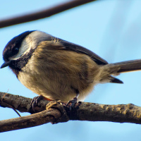 Black-capped Chickadee / Черношапочная гаичка