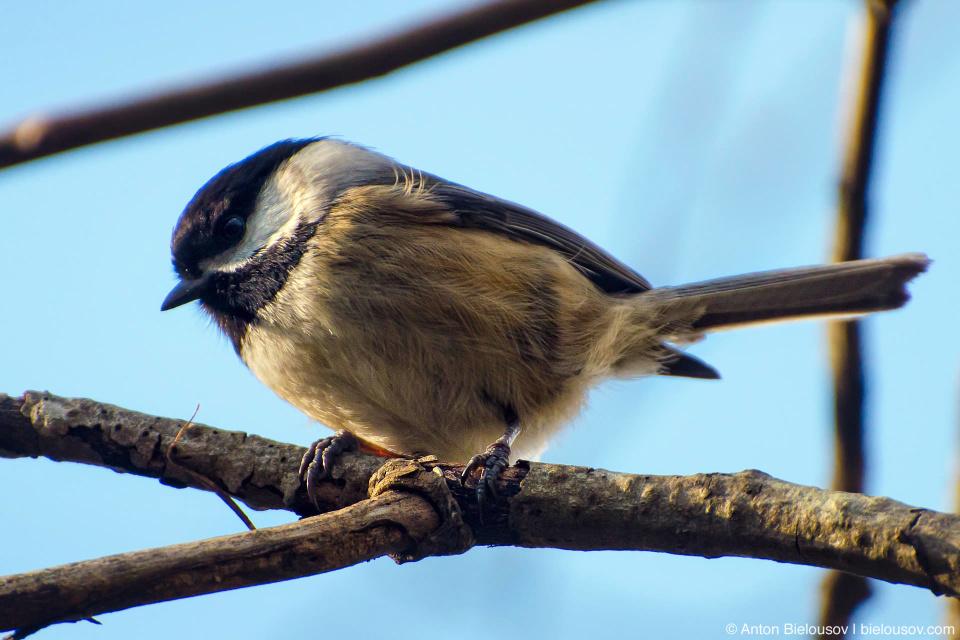 Black-capped Chickadee / Черношапочная гаичка (Poecile atricapillus)