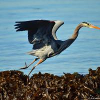 Great Blue Heron / Большая голубая цапля