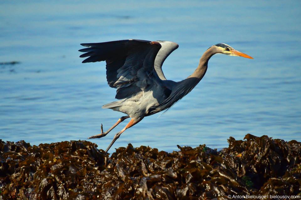 Great Blue Heron — Victoria, BC