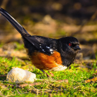Spotted Towhee / Пятнистый Тауи