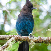 Stellar's Jay / Стеллерова черноголовая голубая сойка
