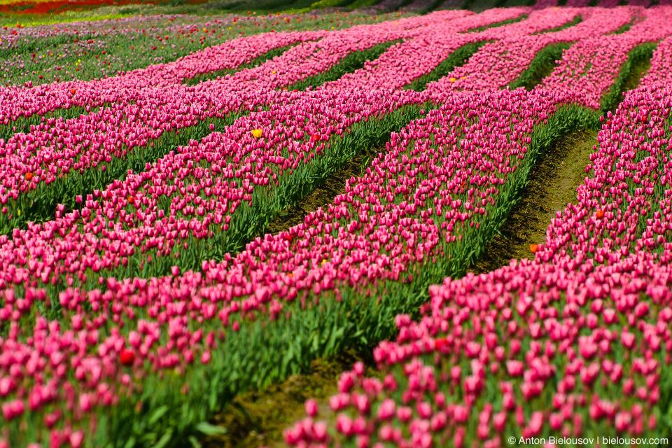 Tulips festival (Agassiz, BC)