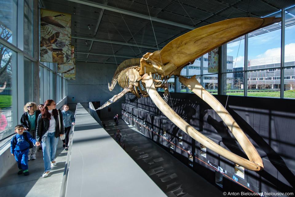 blue whale skeleton in Beaty Biodiversity Museum (UBC, Vancouver)