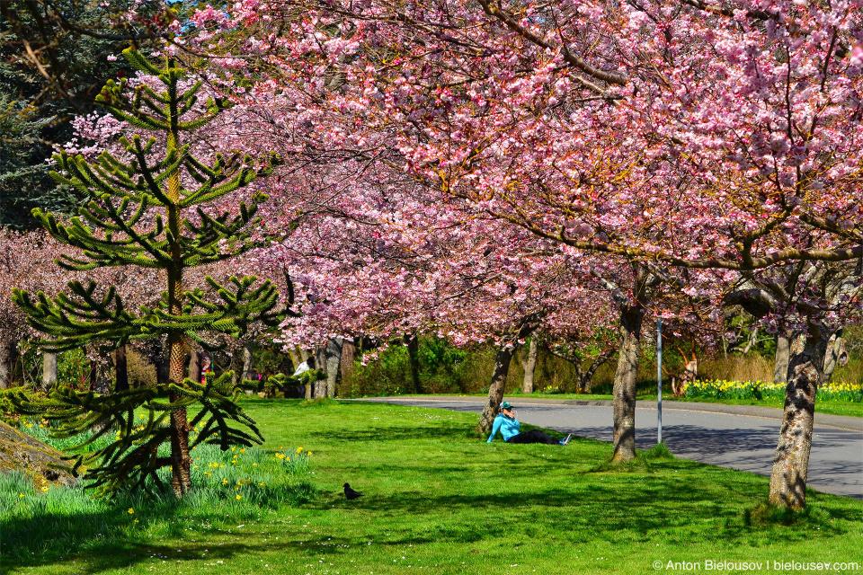 Вишневый цвет в парке Beacon Hill: где-то здесь есть дерево, посаженное Черчилем