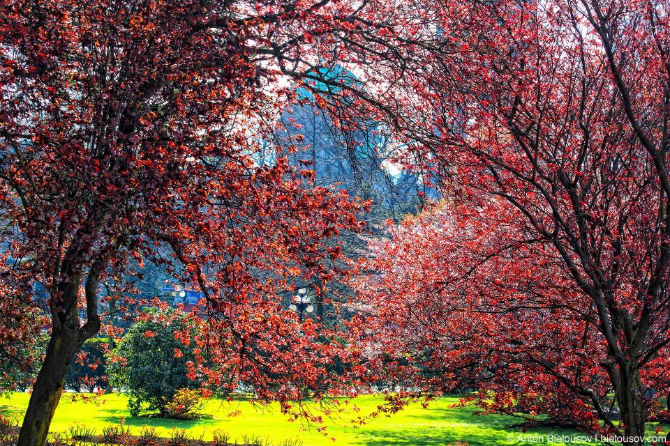 Здание парламента Британской Колумбии из цветущего вишневого сада отеля The Empress