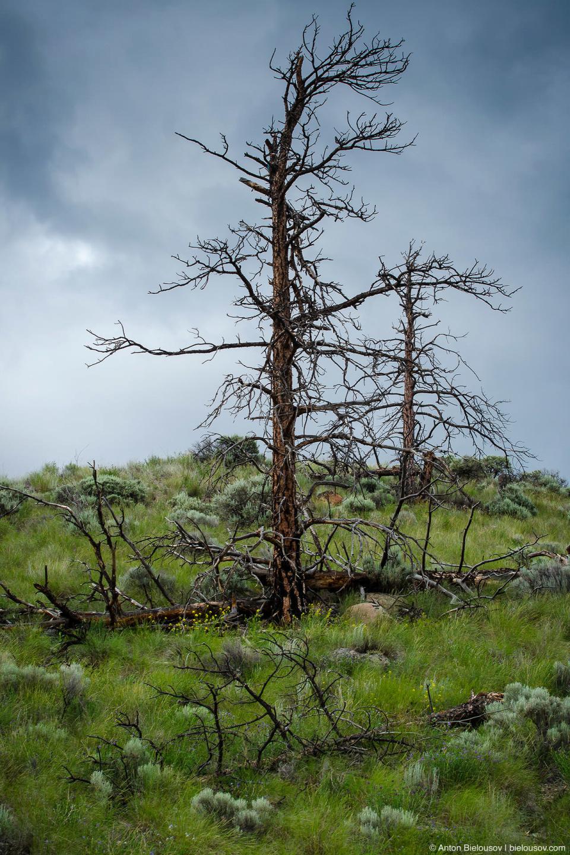 Одинокое сухое дерево в канадской прерии (Ashcroft, BC)