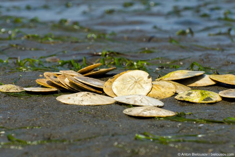 Sand Dollars on Centennial Beach
