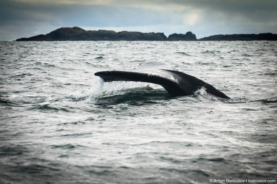 Хвост серого кита (Gray Whale tail at Pacific Rim National Park, Vancouver Island)