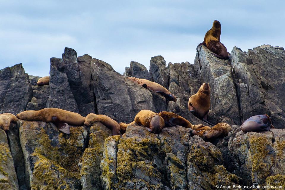 Лежбище морских львов на острове в национальном парке Pacific Rim