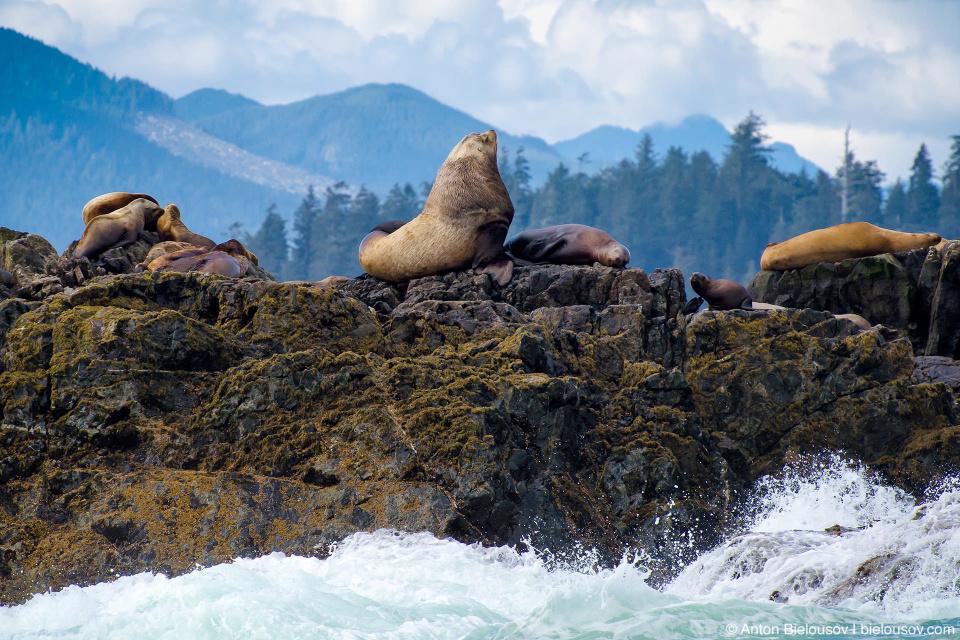 Доминирующий самец калифорнийского морского льва на лежбище (Pacific Rim National Park, Vancouver Island)