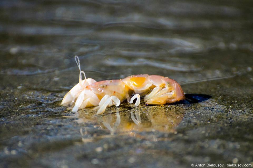 Креветки пятятся к отступившиму морю и, едва доползя до воды, зарываются в песок (Pacific Rim National Park at Vancouver Island)