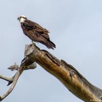 Osprey / Скопа