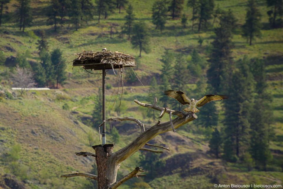 Osprey / Скопа Крупная птица (размах крыльев: 145—170 см) из очень бедного на разновидности семейства скопиных отряда соколообразных. Единственная хищная птица, чье диета состоит только из рыбы. Распространены на всех контенентах кроме антарктиды. Канадские скопы гнездятся практически по всей стране кроме крайнего севера, но улетают на зиму в Центраьную Америку. При этом молодняк остается в теплых странах до полового созревания. В России и Белорусии занесены в Красную книгу.