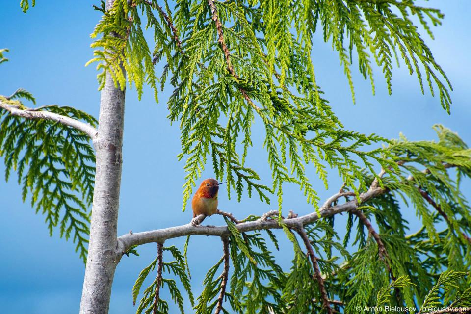 Rufous Hummingbird / Охристый колибри Имеет самый длинный миграционный путь среди всех североамериканских колибри: летом встречается от Орегона до Аляски, зимой улетает на юг Мексики. Это — единственный вид колибри, когда-либо залетавший на территорию России. Длина тела: 8—8.5 см. При должном количеистве пищи и приемлимом убежище может переносить морозы значительно ниже нуля.