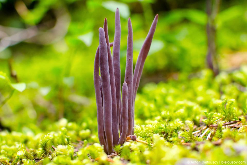 Коралловые грибы (Clavarioid fungi)