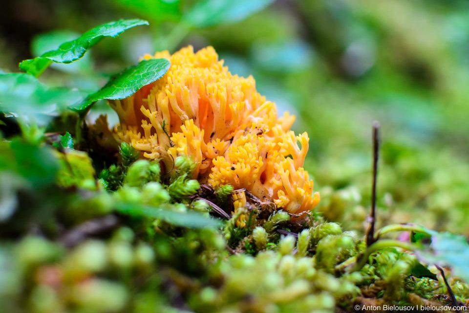 Желтая Рамария (Ramaria Flava) — одна из 1,200 разновидностей коралловых грибов