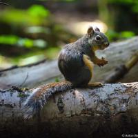 Дугласова белка (Douglas Squirrel)