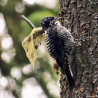 Downy Woodpecker / Пушистый дятел