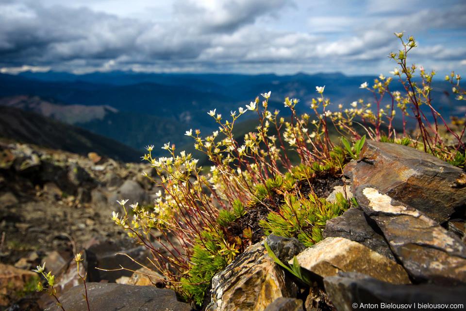 Альпийские цветы (Frosty Mountain 2408м, Manning Park, BC)