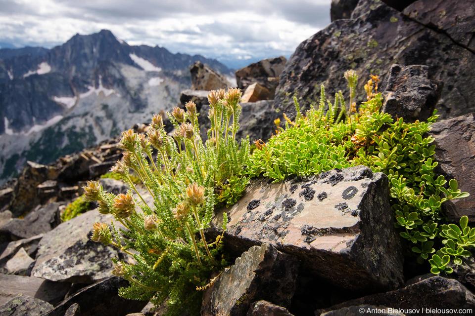 Frosty Mountain Vegetation: У многих горых растений из-за корткого альпийского лета можит уйти до четверти века чтобы дорости до периода цветения.