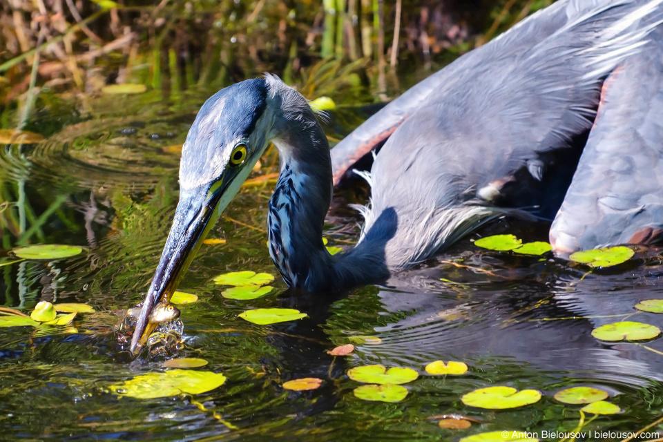 Great Blue Heron — Van Dusen Garden, Vancouver, BC