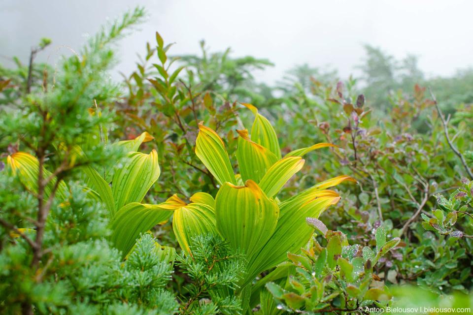 Seymour Mountain Trail vegetation in the fog