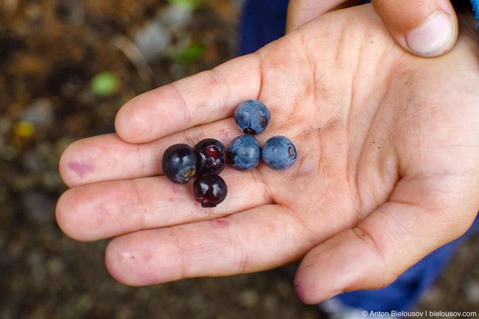 Seymour Mountain has two sort of wild huckleberries