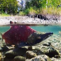 Sockeye salmon underwater in Adams River, BC