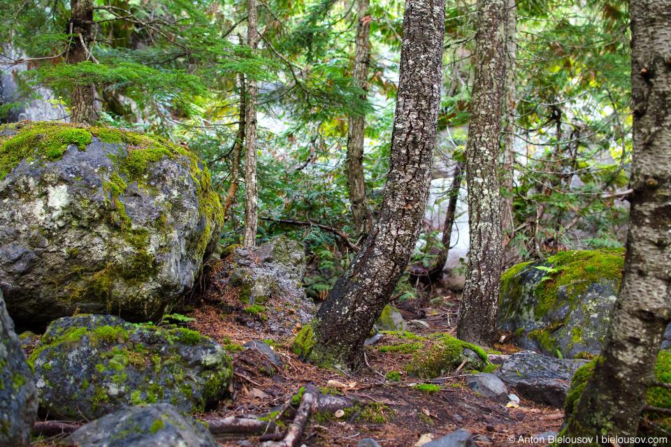 Сам лес очень хорош, а трейл — не засран: сюда те, кто швыряет в кусты старбаксовские стаканы, просто не доезжают. Хотя многие и приезжают сюда с собаками, все равно народу здесь недостаточно, чтобы загадить лес как на озере Линдеман, например. Одним словом, мой говнорадар либо сломался, либо просто молчит.