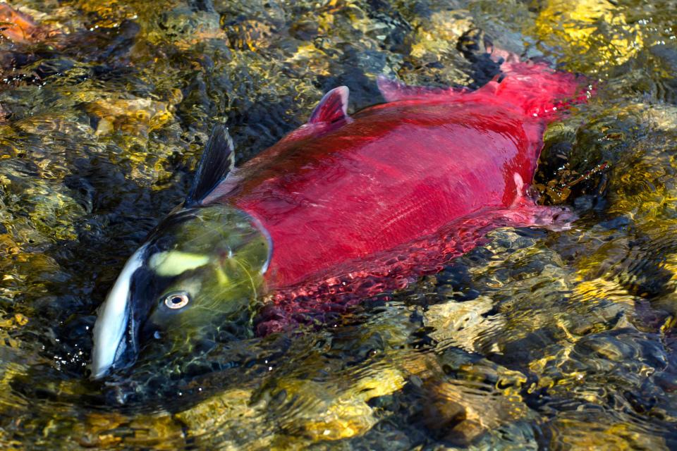 Sockeye Salmon after spawning at Adams River, BC