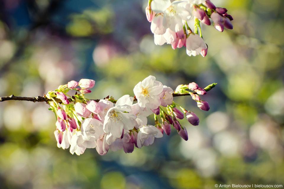 Ну а в Ванкувере сегодня прохладно и солнечно, крокусы отцвели, появляются пролески, распускаются магнолии и вишни.