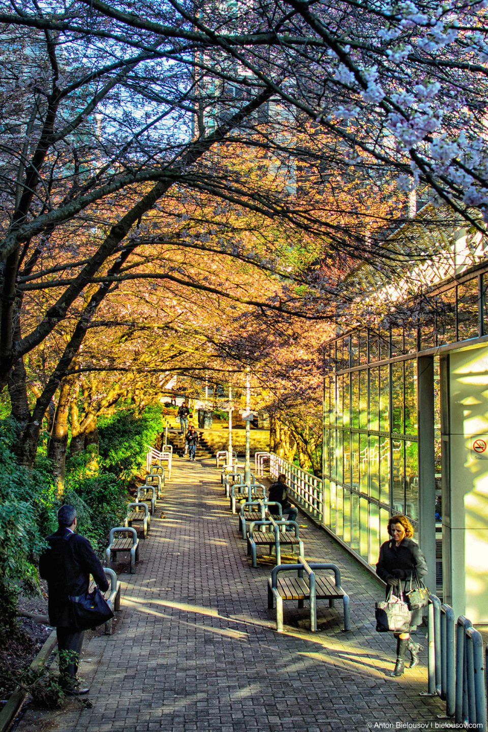 Burrard station blossom, Vancouver, BC