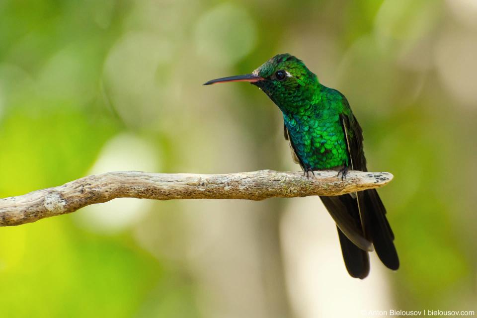 CUBA. Cayo Santa Maria National Park — Hummingbird