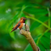 Rufous hummingbird / Охристый колибри