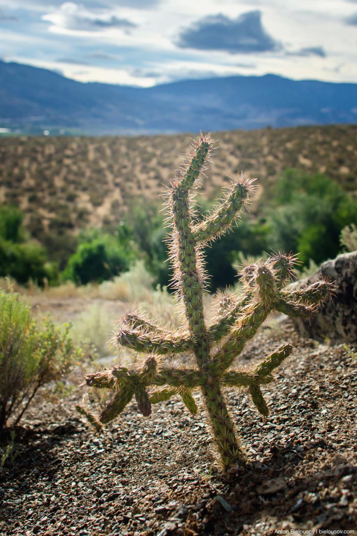 Кактус в канадской пустыне Nk'mip Desert — Osoyoos, BC