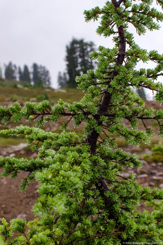 Альпийская ель