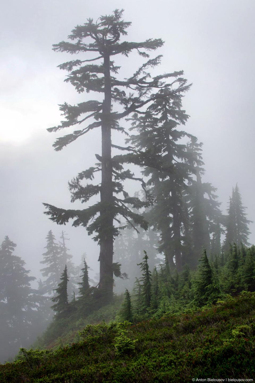 Субальпийский лес в тумане на высоте 1500м
