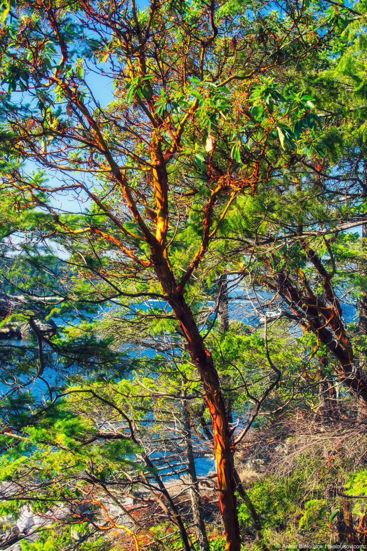Здесь по всему побережью попадаются земляничные деревья (Arbutus) — единственный местный вид широколистный вечнозеленых растений в Британской Колумбии.
