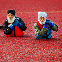 Сбор урожая клюквы в Ванкувере