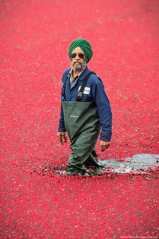 Сбор урожая клюквы в Ричмонде: сбитые с кустов ягоды лежат сплошным слоем на поверхности воды.
