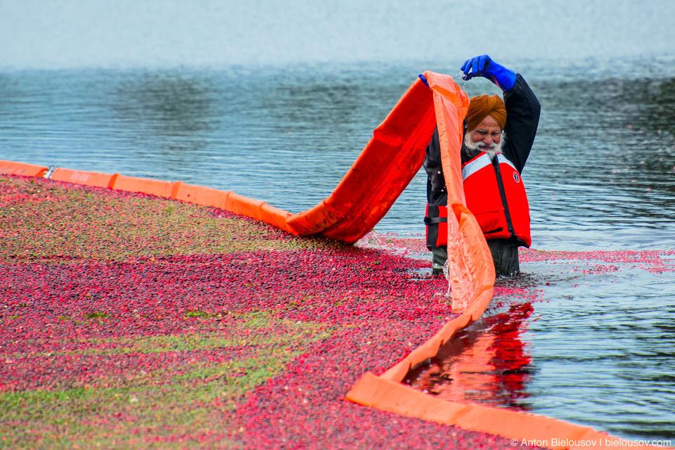 Сбор урожая клюквы в Ричмонде: Рабочие по частям они добавляют больше и больше ягод в месте погрузки, также ограниченном боном чтобы ягоды не расплывались.