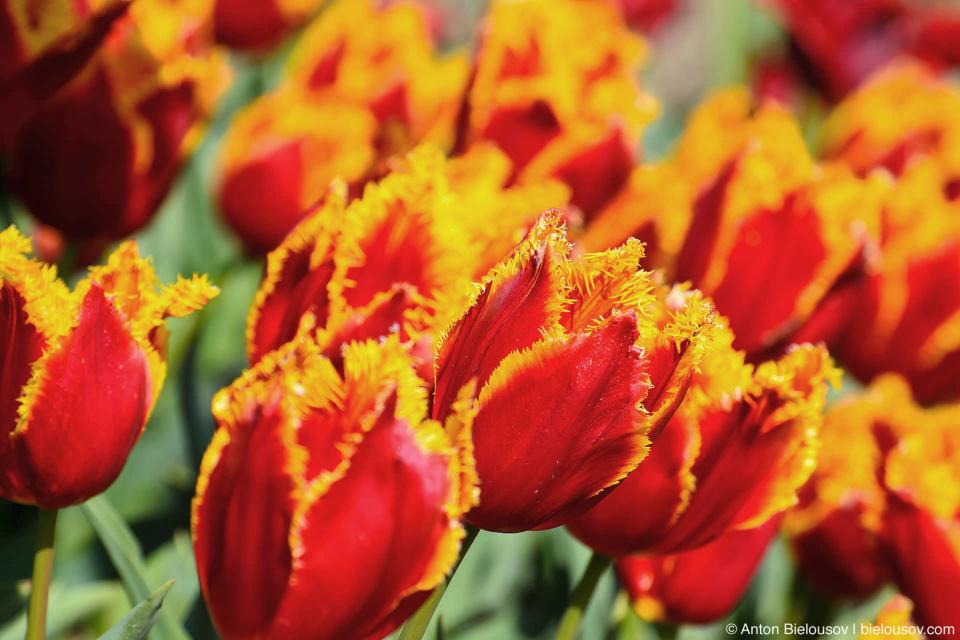 Fabio M 1905 tulips — Skagit Valley, Mount Vernon, WA