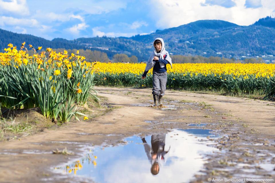 Нарциссовые поля — RoozenGaarde: Фестиваль тюльпанов (Skagit Valley, Mount Vernon, WA)